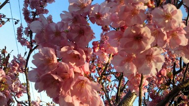 2012我が家の桜.jpg