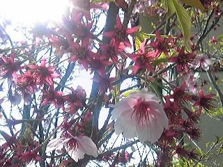 アメリカ桜散る2011春jpg.jpg