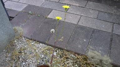 再び加わったタンポポの花.jpg