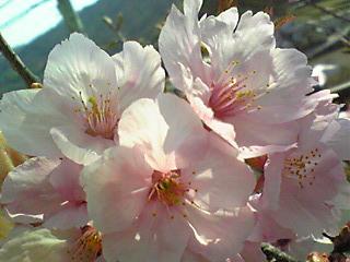 2008桜.JPG
