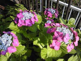 2009紫陽花.JPG