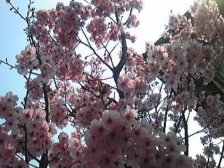 2011我が家の桜.jpg