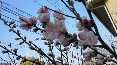 2012わが家の桃の花.jpg