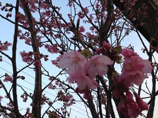 2013春我が家の桜.jpg