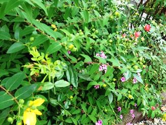 5月の庭.JPG