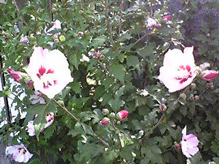 門扉の横の花1.jpg