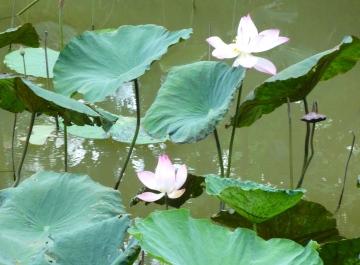メコン川の蓮の花.jpg