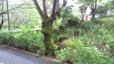 広島女学院大学の緑.jpg