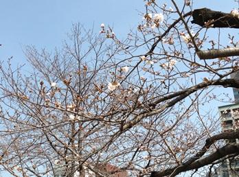 広島平和公園の桜2013.03.23.jpg