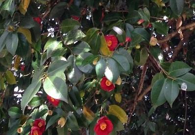 桜と椿.JPG